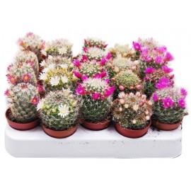 Cactus Mammilaria inflorit