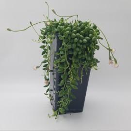 Senecio Herreianus - Planta de mazare