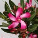 Nerium Oleander- Leandru in ghiveci