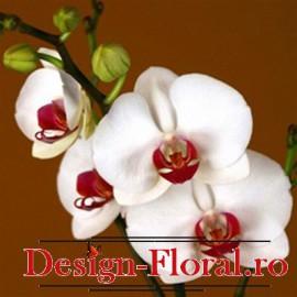 Orhide Phalaenopsis