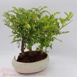Bonsai Triple Zanthoxylum