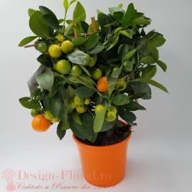 Calamondin cu fructe