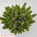 Cactus Hylocereus Undatus - Dragon Fruit