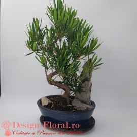 Bonsai Podocarpus Landscape