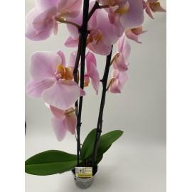 Phalaenopsis Lila deschis