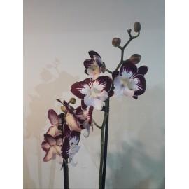 "Orhidee Tinkerbell""s Kizz"