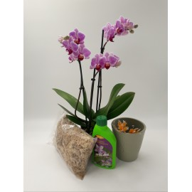 Pachet Phalaenopsis