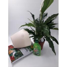 Pachet Spathiphyllum