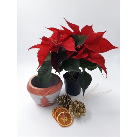 Pachet Euphorbia