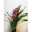 Orhidee Cymbidium cu o tija florala