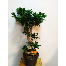 Bonsai microcarpa Ginseng