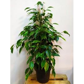 Mix Ficus Benjamin