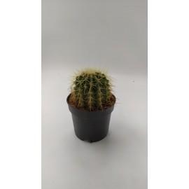 Mix Cactusi