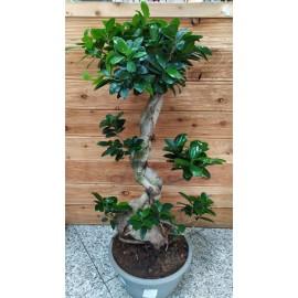 Bonsai Ficus Ginseng 80 cm