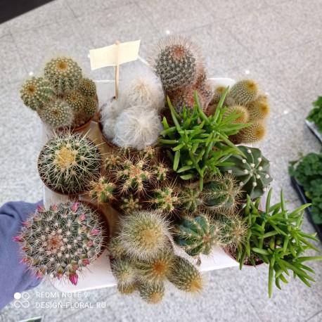Cactus Mix P8