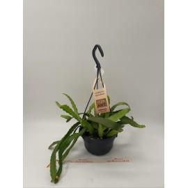 Cactus Rhipsalis Monacantha