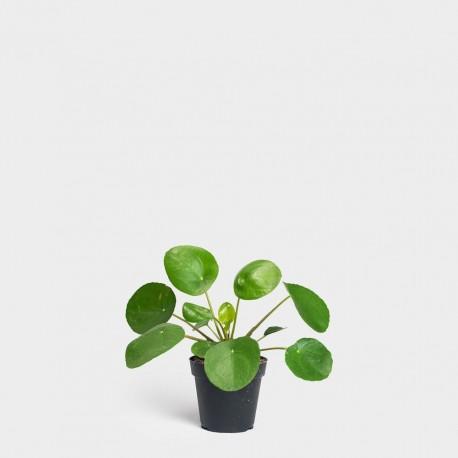 Pilea Peperomioides- Arborele chinezesc de monede