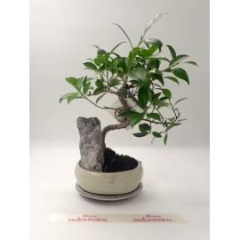Bonsai Ficus Landscape