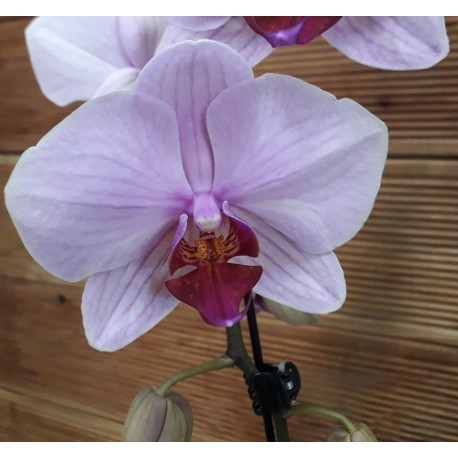 Phalaenopsis pe arcada