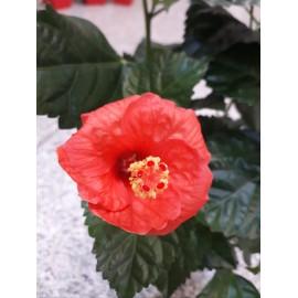 Hibiscus rosu