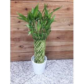 Dracaena Lucky Bamboo- Bambus Norocos