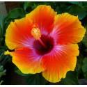 Hibiscus - Trandafir Japonez