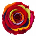 Trandafiri criogenati